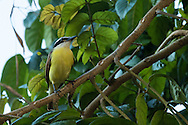 A great kiskadee perches on the branch of a lush green tree, Puerto Vallarta, Mexico