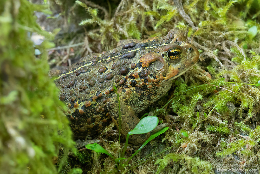 A western toad (Anaxyrus boreas) crawls out onto a moss-covered log in the Lake Twentytwo Research Natural Area in Snohomish County, Washington. The western toad is found throughout the western United States in a wide range of habitats from sea level to more than 7,000 feet.