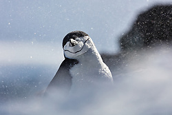 We don't appreciate penguins enough.  While we think of them as silly and awkward on land, they survive harsh weather conditions and fight for survival daily.  When the wind picked up and the snow started blowing almost painfully, I tried to capture a sense of what this chinstrap penguin on Half Moon Island in the South Shetland Islands deals with daily.
