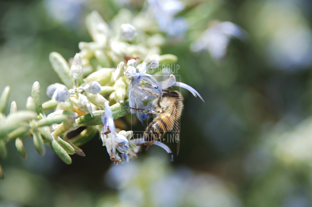 Honey bee pollinating a flower bud
