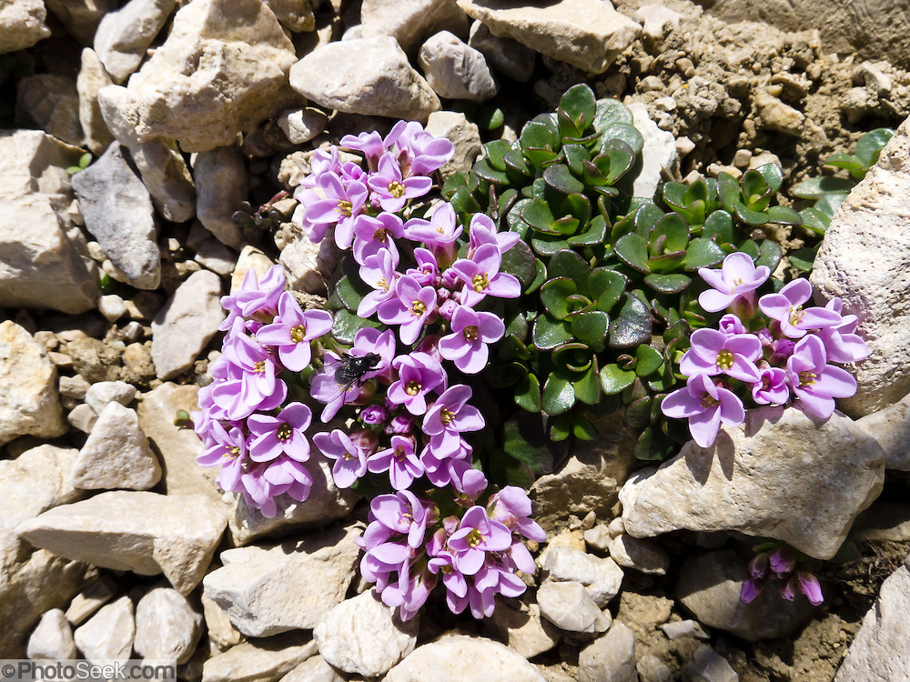 Purple alpine flowers bloom in the Sexten Dolomites, Italy, Europe.