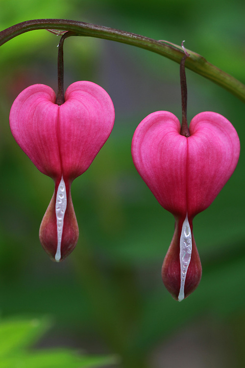 Bleeding heart flower macro photography artwork from the fine art flower photography collection of Boston based master nature and flower photographer Juergen Roth. <br /> <br /> This flower photography image is available as museum quality photography prints, canvas prints, acrylic prints or metal prints. Fine art prints may be framed and matted to the individual liking and decorating needs:<br /> <br /> http://juergen-roth.pixels.com/featured/happy-valentines-day-juergen-roth.html<br /> <br /> All photographs are available for digital and print image licensing at www.RothGalleries.com. Please contact me direct with any questions or request.<br /> <br /> Good light and happy photo making!<br /> <br /> My best,<br /> <br /> Juergen<br /> Prints: http://www.rothgalleries.com<br /> Photo Blog: http://whereintheworldisjuergen.blogspot.com<br /> Twitter: @NatureFineArt<br /> Instagram: https://www.instagram.com/rothgalleries<br /> Facebook: https://www.facebook.com/naturefineart