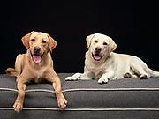 Labradors in studio