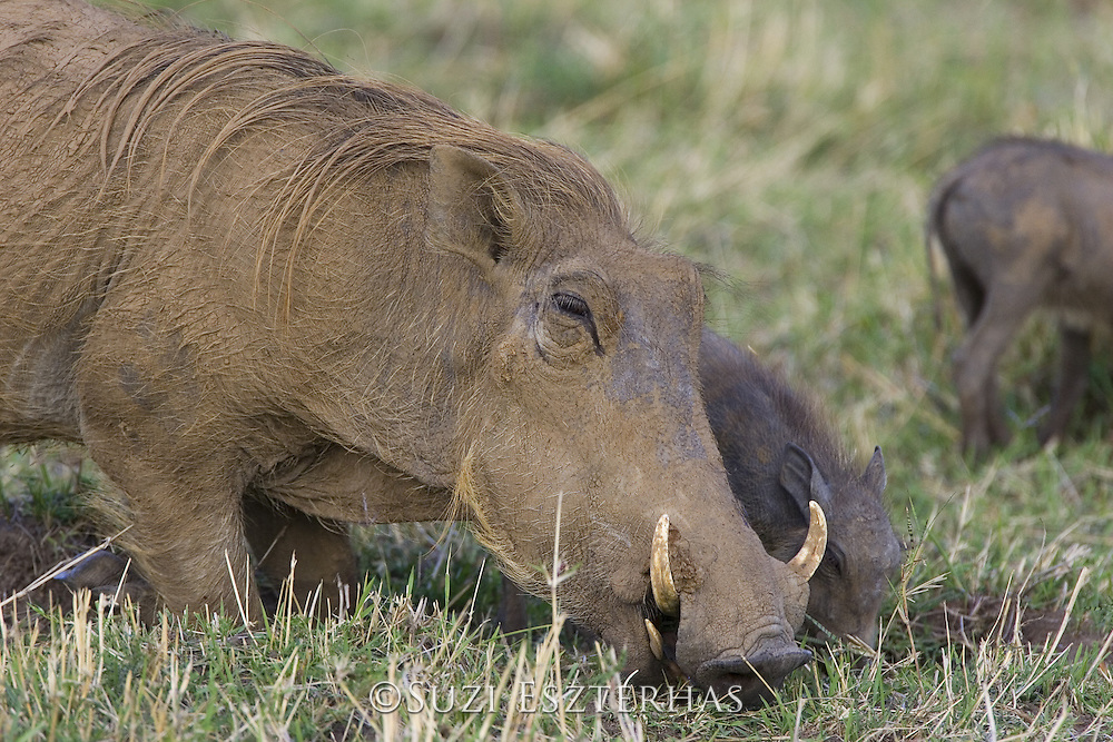 AFRICAN WART HOG <br /> Phacochoerus aethiopicus<br /> Masai Mara Reserve, Kenya