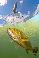 Largemouth Bass chasing lure<br />