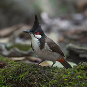 The red-whiskered bulbul (Pycnonotus jocosus) is a passerine bird found in Asia. It is a member of the bulbul family. It is a resident frugivore found mainly in tropical Asia.