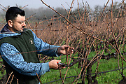 Pruning at Elhers winery & estate vineyard, Napa, California