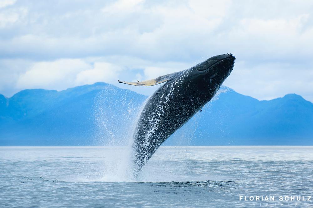Humpack Whale breaching
