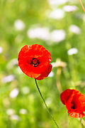Red poppy, Papaver rhoeas (common names include corn poppy, corn rose, field poppy) in an English garden, UK
