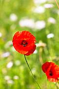 Red poppy, Papaver rhoeas (common names include corn poppy, corn rose, field poppy) in an English garden, UK