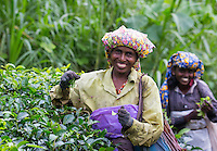 Smiling woman picking tea in a tea plantation, Sri Lanka