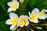 Plumeria flowers, Island of Kauai, Hawaii USA
