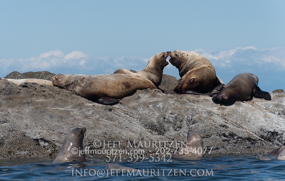 Steller sea lions bask on the rocks of Sucia Island, one of the San Juan Islands in Washington state.