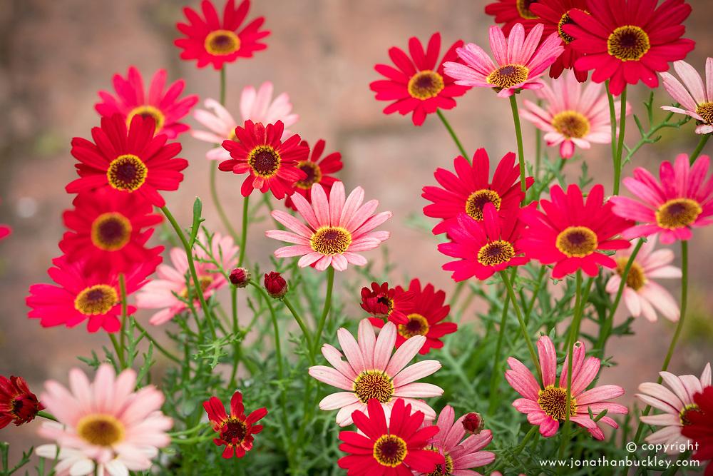 Argyranthemum 'Grandaisy Red'