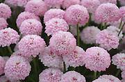 closeup selective focus of pink flowers