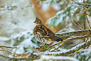 Ruffed grouse in a snowy spruce tree.