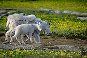 A kid mountain goat (Oreamnos americanus) and her mother walk through midsummer blooms of wildflowers, Western Montana