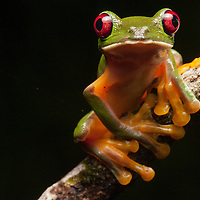 gliding treefrog, Agalychnis spurrelli from the Osa Peninsula, Costa Rica