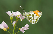 Orange-tip Anthocharis cardamines Wingspan 40mm. A familiar spring butterfly, males of which are unmistakable. Adult has rounded wings. Forewing is dark-tipped but male has an adjacent orange patch. Underside of hindwing of both sexes is marbled green and white. Adult flies April–June. Larva is green with whitish counter shading; feeds mainly on Cuckoo-flower. Widespread in southern Britain and Ireland; associated with open woodland, verges, and rural gardens.