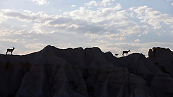Bighorned Sheep walk across rock formations, Badlands National Park, South Dakota, United States of America