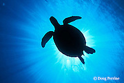 green sea turtle, Chelonia mydas, Sipadan Island, off Borneo, Sabah, Malaysia ( Celebes Sea ) Endangered Species
