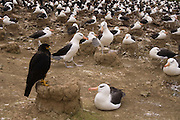 Black-browed Albatross (Thalassarche melanophrys) and Striated Caracara or Johnny Rook (Phalcoboenus australis)<br /> Steeple Jason Island. FALKLAND ISLANDS.<br /> They return to the same nest annually. The nest is a a solid pillar up to 50cm high of mud and guano with some grass and seaweed incorporated. A single egg is laid in October and juveniles fledge between mid March and April. They have a circumpolar range betweeen 65 S and 20 south and breed on Subantarctic Islands, Including South Georgia and islands off southern South America. In the Falklands they are also found on Beauchene, Saunders, West Point and New Island.<br /> The Jasons (Grand, Elephant and Steeple) are a chain of islands 40 miles (64km) north and west off West Falkland towards Patagonia. Steeple is 6 by 1 mile (10Km by 1.6km) in size. From the coast the land rises steeply to a rocky ridge running along the length. <br /> THIS ISLAND HAS THE LARGEST BLACK-BROWED COLONY IN THE WORLD WITH 100,000+ PAIRS. The island is owned by WCS (Wildlife Conservation Society) Falklands Conservation have an ongoing research project with the Albatross on Steeple Jason.<br /> LISTED AS ENDANGERED