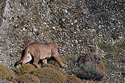 Puma (Felis concolor patagonica) male<br /> Torres del Paine National Park<br /> Patagonia<br /> Magellanic region of Southern Chile
