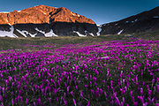 Mountain valley covered in blossom crocuses