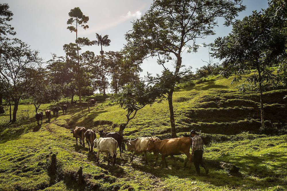 Freddy Rojas Torres drives cattle to pasture at his dairy farm in San Rafael de Rio Cuarto de Grecia, Costa Rica. Mr. Rojas-Torres has filed dozens of complaints against a neighboring pineapple farm, becuase he says they are producing flies that make his cattle sitck.