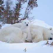 Polar bear mother and cub of the western Hudson Bay population recently out of the den. Manitoba, Canada