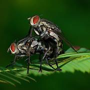 Sarcophagidae flesh flies mating. Thap Lan National Park, Thailand.