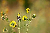 As summer starts to fade the bright colors of an American Goldfinch also begin to fade and the little yellow sunflowers start wilting in the heat of the day.