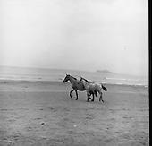 23/07/1964 Connemara Pony and Foal