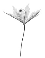 X-ray image of a Canada anemone in bud (Anemone canadensis, black on white) by Jim Wehtje, specialist in x-ray art and design images.