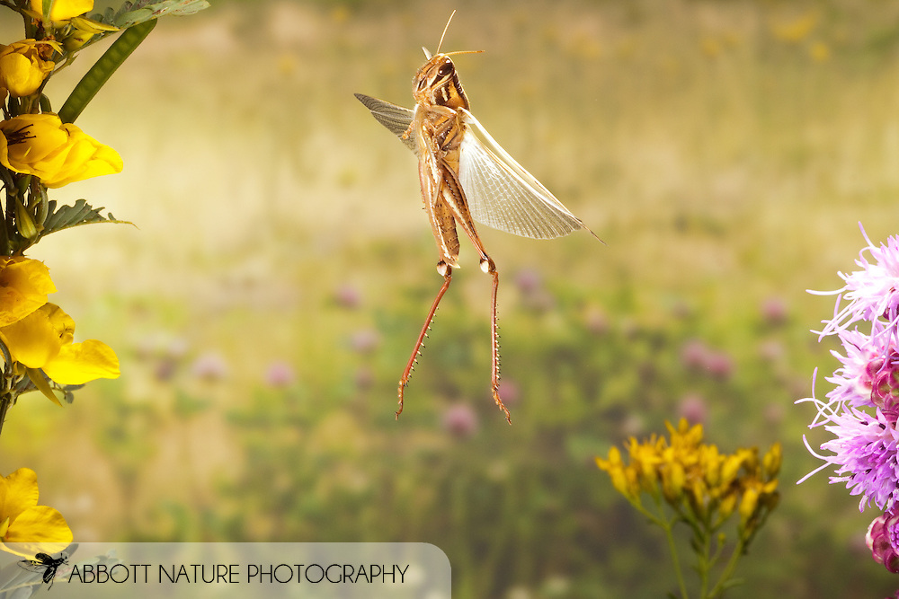 American Bird Grasshopper (Schistocerca americana) in flight<br /> TEXAS: Lamar Co.<br /> Camp Maxey National Guard Facility in Paris<br /> 27.August.2009<br /> J.C. Abbott