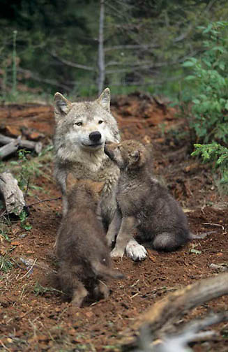 Gray Wolf, (Canis lupus) Adult and pup at den. Rocky mountains. Montana. Spring. Captive Animal.