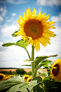 Pays de Langres, Frankrijk. Landschap met zonnebloemen bij Langres - Pays  de Langres, France. Langres landscape with sunflowers