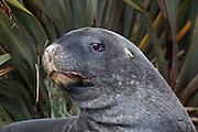 Hooker Sea Lion, Otago Peninsula, New Zealand