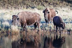 Bison at pond, Vermejo Park Ranch, New Mexico, USA.