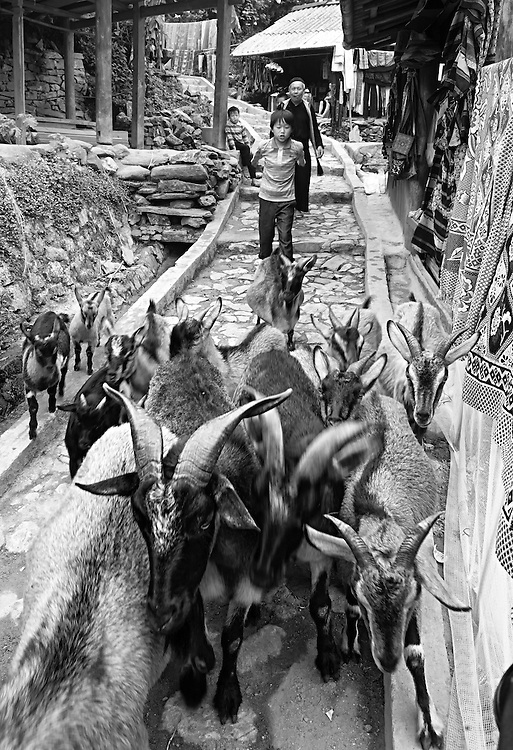 'Goat run' goats are herded through a village in Sapa, Vietnam.