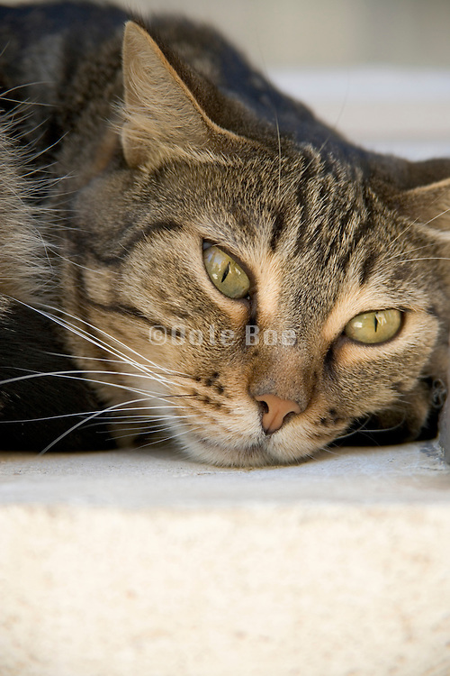 a domestic cat resting