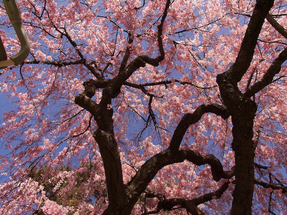 Cherry Blossom tree at the Brooklyn Botanical Gardens.