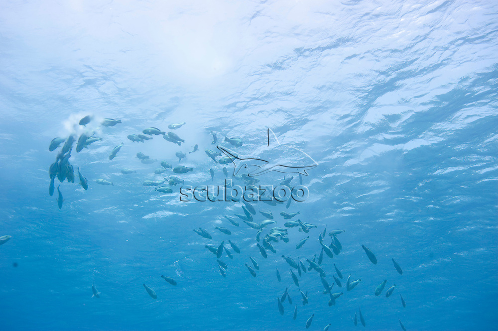 Parrotfish spawning in large numbers, Alila Gaafu Atol, The Maldives.