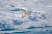 Male polar eating a polar bear cub on the sea ice in Hecla and Griper Trough off Baffin Island, Nunavut, Canada.