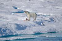 Male polar eating a polar bear cub on the sea ice in Hecla and Griper Trough off Baffin Island, Nunavut, Canada.