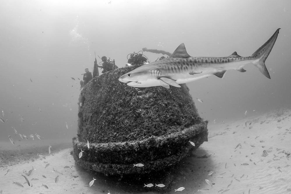 A female Tiger shark, Galeocerdo cuvier, swims next to the Esso Bonaire shipwreck offshore Jupiter, Florida, United States