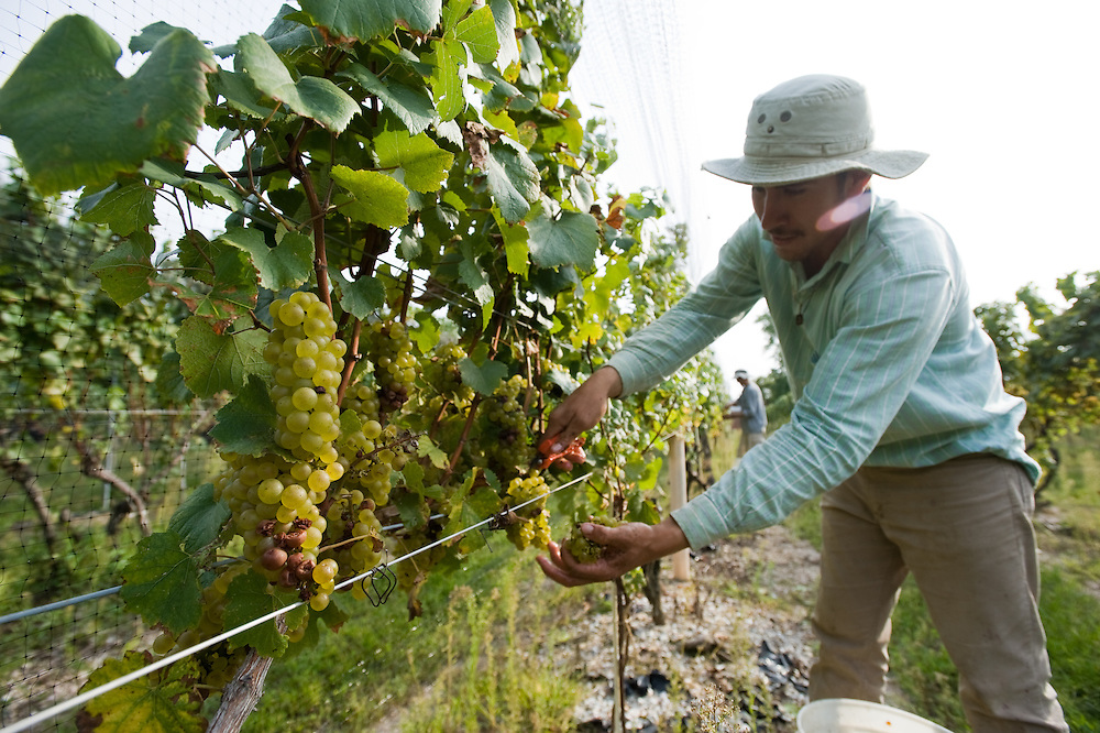Worker harvesting grapes on a vineyard