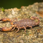 Scorpions are predatory arachnids of the order Scorpiones. They have eight legs and are easily recognized by the pair of grasping pedipalps and the narrow, segmented tail, often carried in a characteristic forward curve over the back, ending with a venomous stinger.