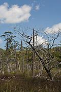 Dead trees, Jacksonville, Florida