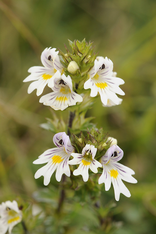 EYEBRIGHT Euphrasia officinalis agg. (Scrophulariaceae) Height to 25cm. Branched or unbranched annual, semi-parasitic on roots of other plants and sometimes tinged reddish. The plant's appearance is extremely variable and 30 or so species are recognised. However, an expert eye and considerable experience is needed to discern the differences. Given the limited space available in this book, here all Eyebrights are considered as a single aggregate species. Grows in undisturbed grassy places. FLOWERS are 5-10mm long (depending on the 'species' involved), the corolla 2-lipped (the lower lip 3-lobed) and whitish (sometimes tinged pink) with purple veins and a yellow throat; borne in leafy spikes (May-Sep). FRUITS are capsules. LEAVES are oval but sharply toothed, sometimes tinged bronze. STATUS-Widespread and locally common.